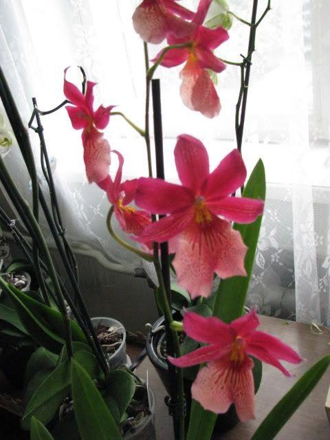 Фото - Мільтонія, догляд в домашніх умовах. Як виростити орхідеї будинку