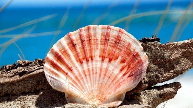 черепашка морського гребінця