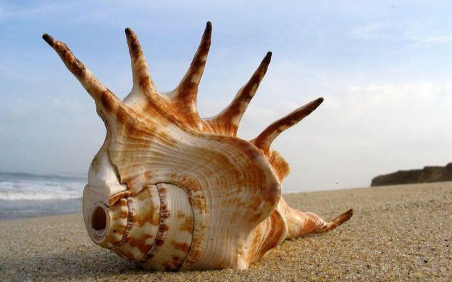 черепашка морська зірка