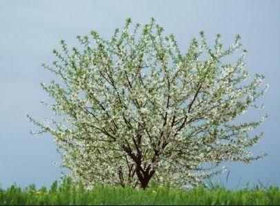 Фото - Чи можна обприскувати дерева під час цвітіння або краще цього не робити?