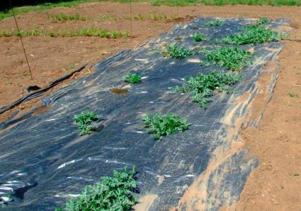 Фото - Нюанси вирощуючи ягід: коли садити кавуни