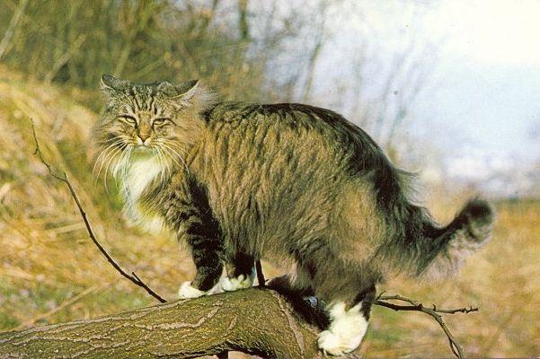 Фото - Норвезька лісовий кіт - одомашнений нащадок дикого лісового звіра
