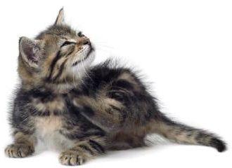Фото - Виявили блохи у кішки. Що робити?