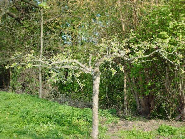 Фото - Обрізка яблунь навесні: поради садівникам