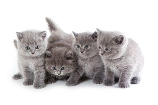 Фото - Чарівні британські кошенята: чим годувати малюків