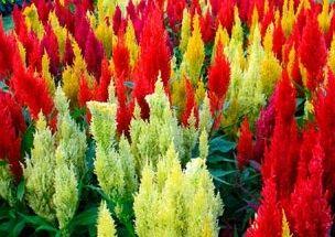 Фото - Однорічні квіти, квітучі все літо на ділянці