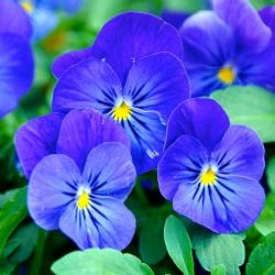 красиві однорічні квіти