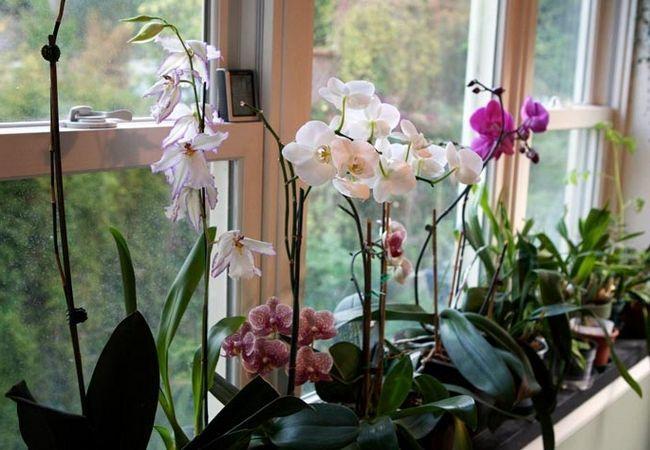 Фото - Орхідея в домашніх умовах: особливості вирощування