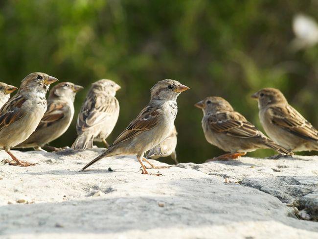 осілі птахи