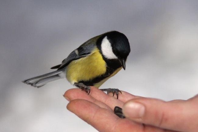 до осілим птахам відносяться