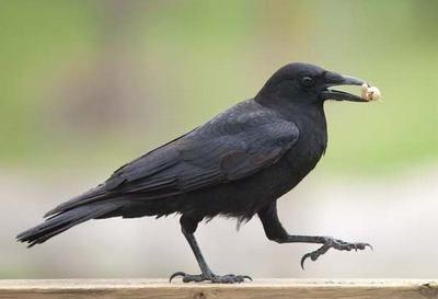 осілі птахи приклади