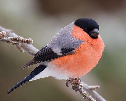 осілі птахи кочують птиці