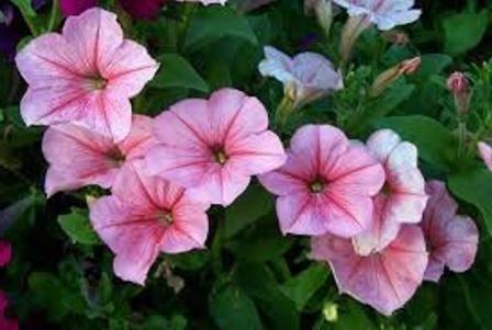 петунія квітка