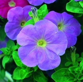 квітка петунія вирощування