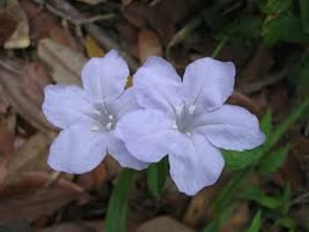 квітка петунія махрова