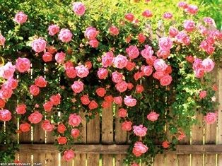 плететься троянда