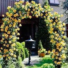 плетуться троянди