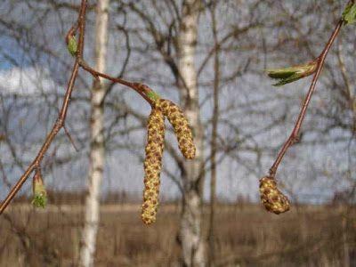 плоди дерева
