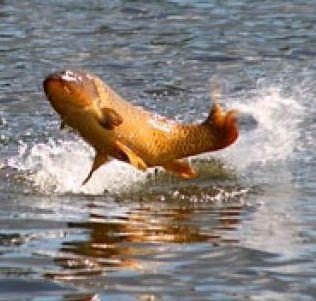 Фото - Чому японці вважають, що сазан - риба, прабатько всіх риб?