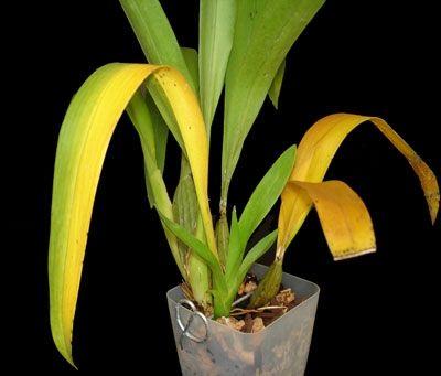 Фото - Чому у орхідеї жовтіє листя?