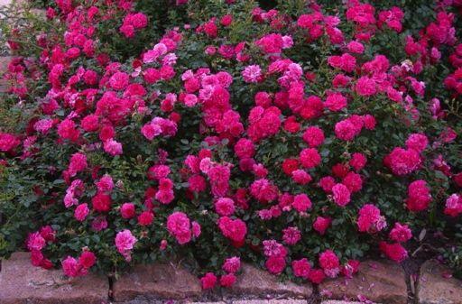 Фото - Грунтопокривні троянди (посадка і догляд)