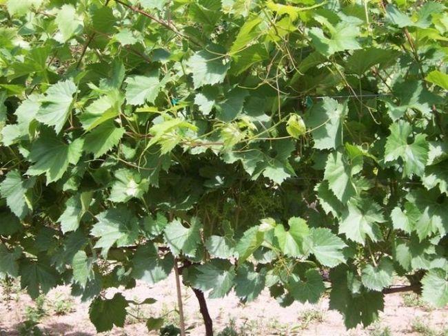Фото - Підживлення винограду навесні - поради та рекомендації