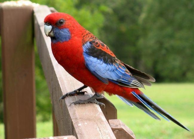 Фото - Папуга розелла - дивно красивий птах
