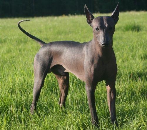 Фото - Популярні гладкошерсті породи собак