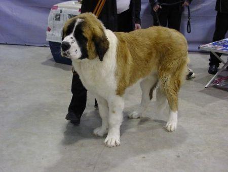 московська сторожова собака