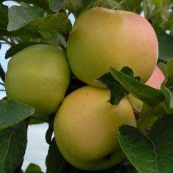 посадка яблунь і груш