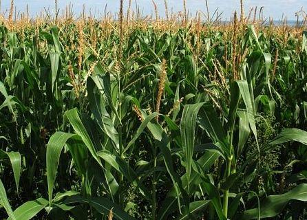 Фото - Посадка кукурудзи насінням і розсадою