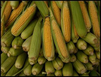 Посадка кукурудзи на дачі