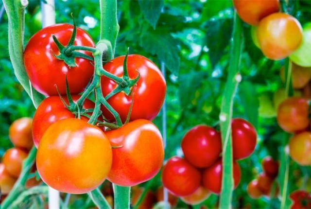 Фото - Посадка помідор у відкритий грунт і теплицю. Поради городникам
