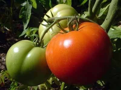 правильна посадка помідорів