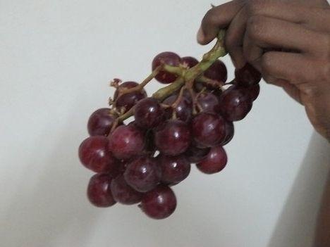 Фото - Посадка винограду в Підмосков'ї - це вже не фантастика