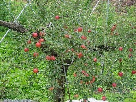 Фото - Робота на присадибній ділянці: як посадити яблуню навесні