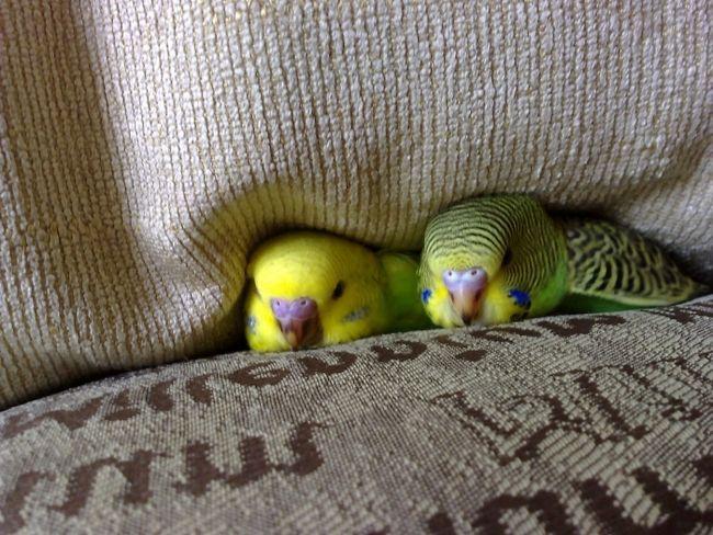 Фото - Розбираємося, скільки живе хвилястий папуга в домашніх умовах