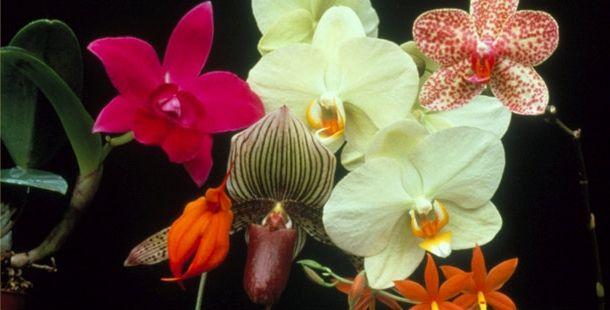 розмноження домашньої орхідеї в домашніх умовах