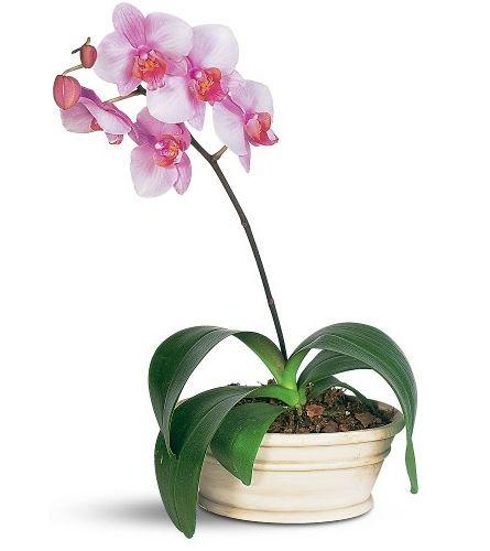 цвітіння орхідей в домашніх умовах