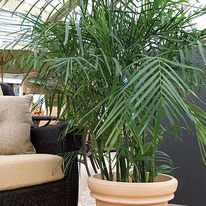 Фото - Різноманітні види домашньої пальми - яку вибрати