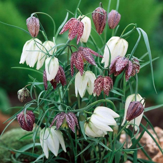 Фото - Рябчик - квітка у вашому саду