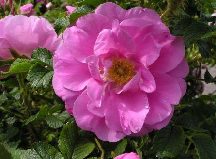 троянда зморшкувата фото