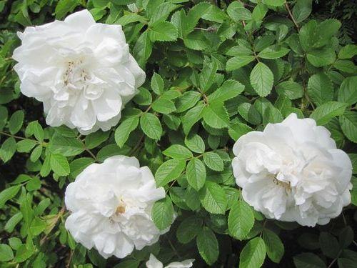 Роза зморшкувата альба