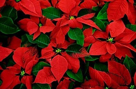 різдвяна зірка квітка як доглядати