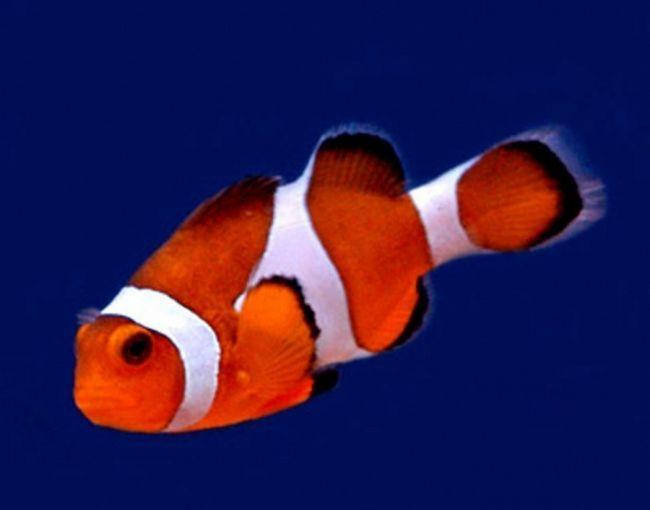 Фото - Риба-клоун у вас вдома