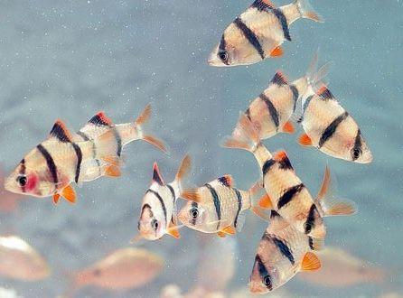 Фото - Рибки барбуси, види, утримання та догляд