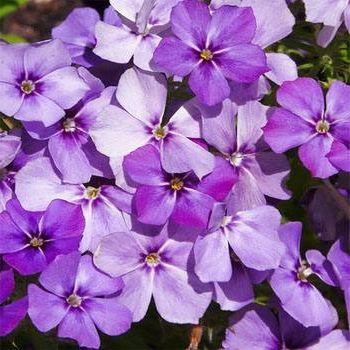Фото - Садовий квітка флокс однорічний - вирощування з насіння і догляд