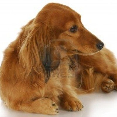 порода довгошерстих службових собак