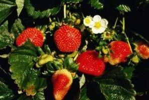 посадка полуниці навесні