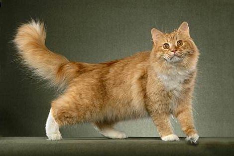 сибірська порода кішок